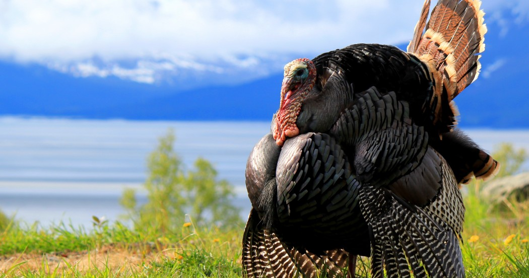 Eastern Turkey in full strut near Anchorage Alaska, Cook Inlet