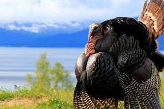 Eastern Turkey in full strut near Anchorage Alaska, Cook Inlet
