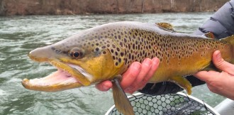 Brown trout caught on the South Holston