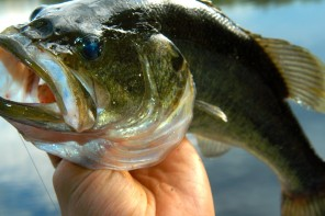 Largemouth bass are voracious eaters, prolific in lakes and rivers in the US, and the target of many anglers.