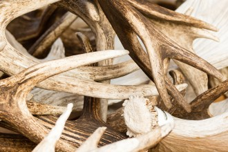 Large pile of shed deer antlers on a table. Antlers are close up and show different shades of brown.
