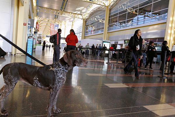 Dog ready to be screened at airport security checkpoint