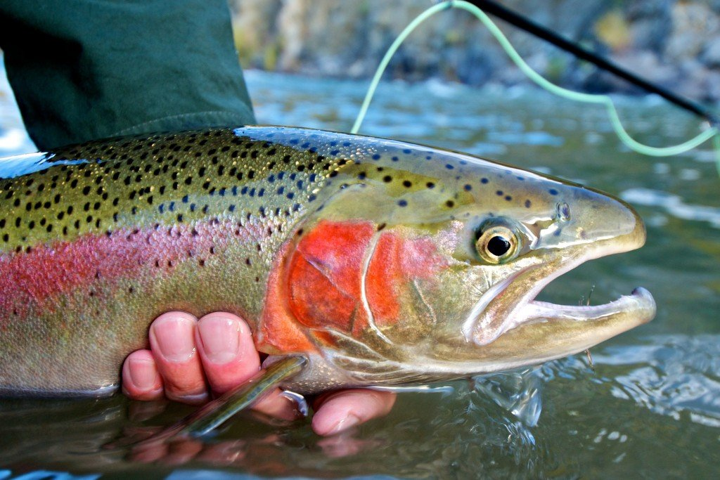 Steelhead trout caught while fly fishing