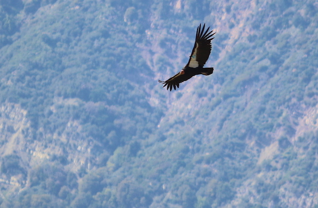Wild Condor flying at the hopper mountain wildlife refuge