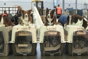 Dogs ready for their flight