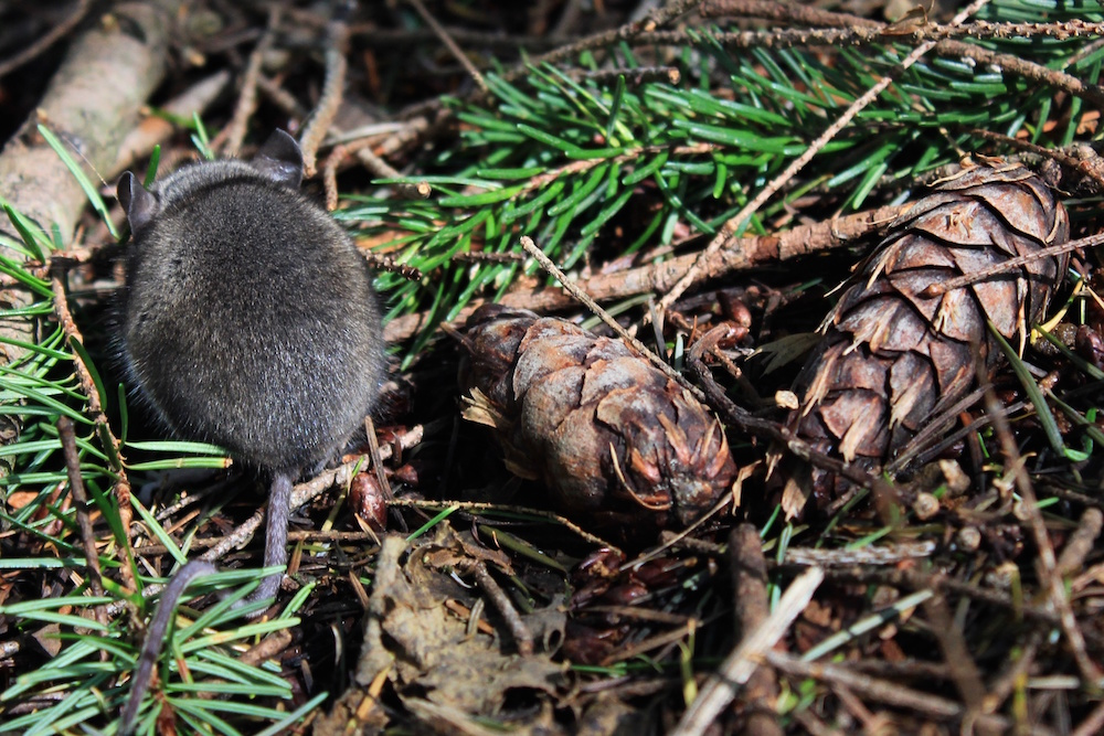A mouse and two pinecones on the forest floor.