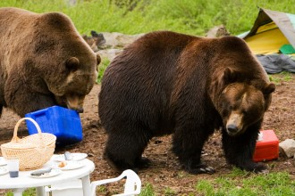Grizzly Bears ravaging a campsite