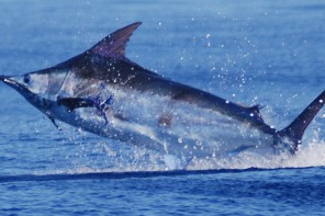 pirates cove billfish tournament in the outer banks north carolina