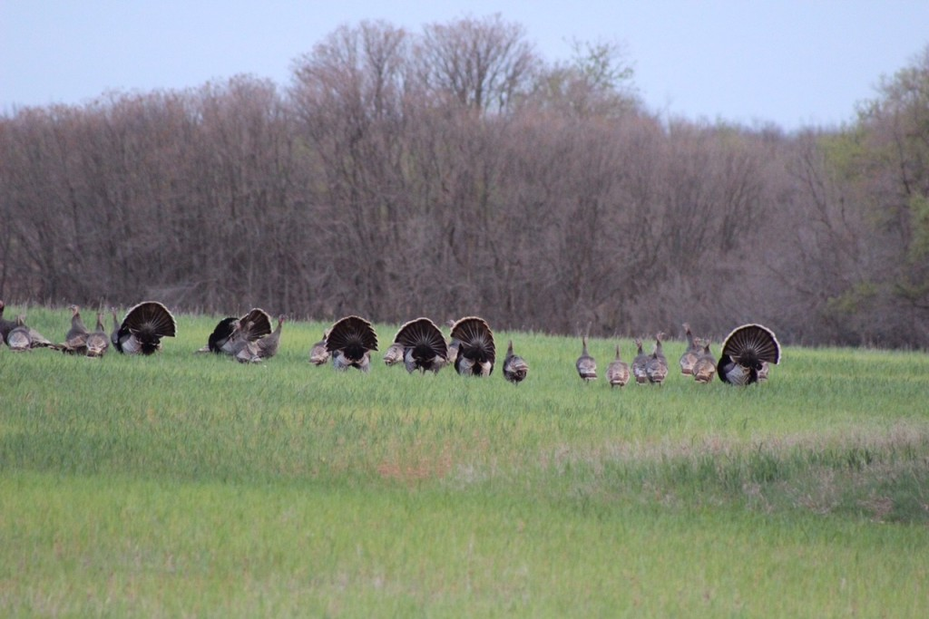 turkeys at red river valley outfitters in north texas