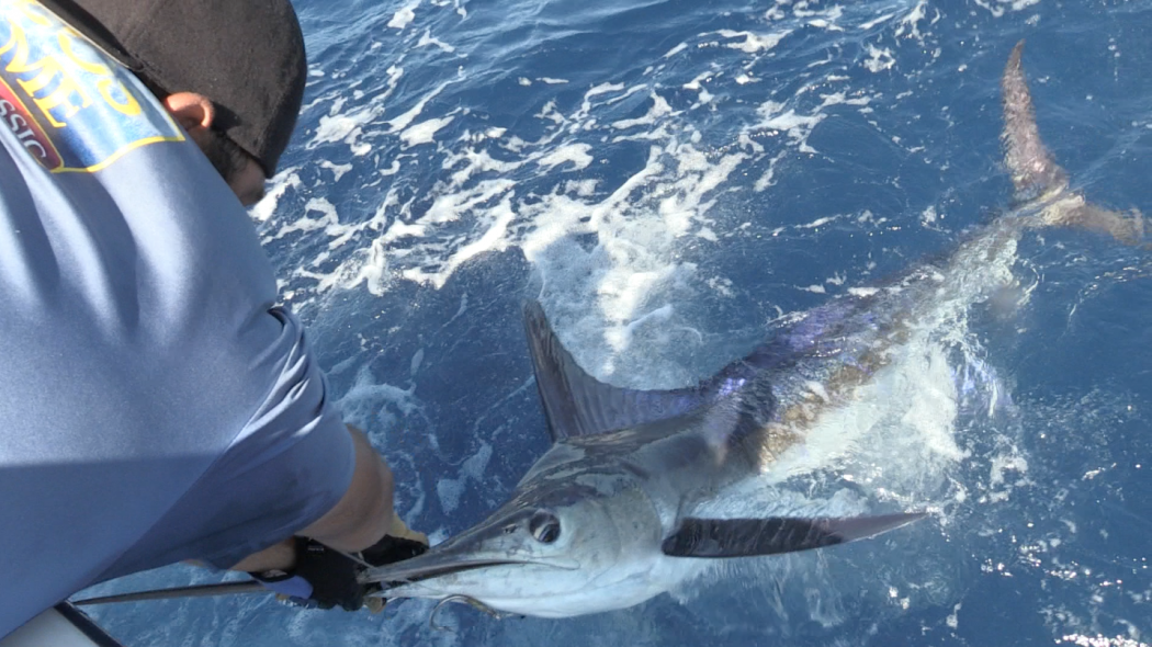 blue marlin being released in the los cabos billfish tournament in baja