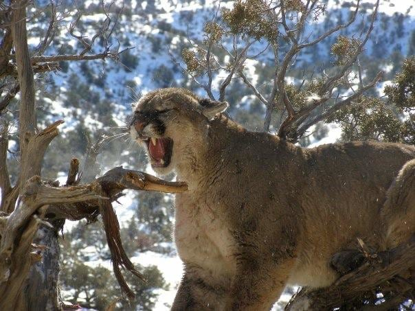 trophy mountain lion hunts with gt outfitters