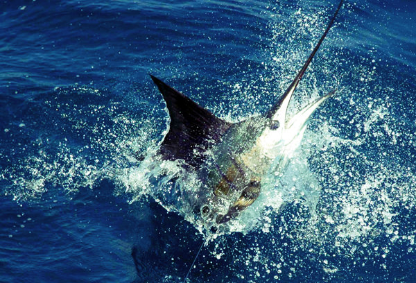 marlin fishing on Carly A, outer banks fishing charter