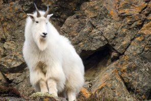 Barelas Alaska Outfitters Mountain Goat
