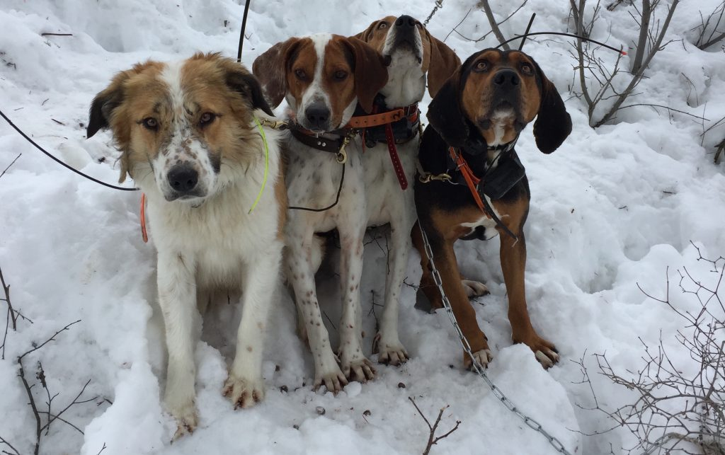 Mountain Lion Hounds