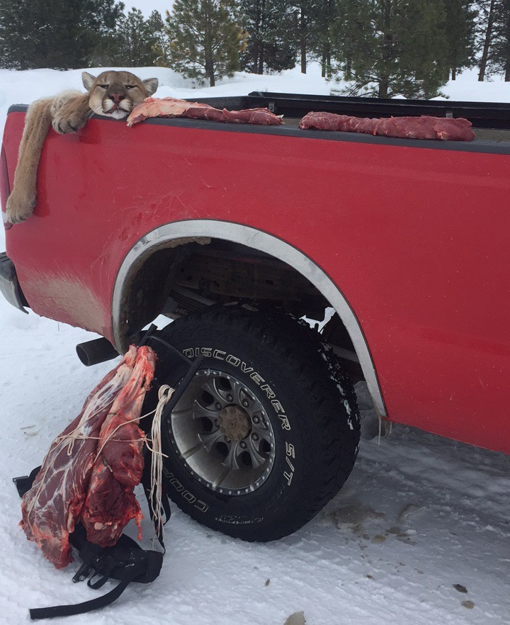 Mountain Lion Harvest