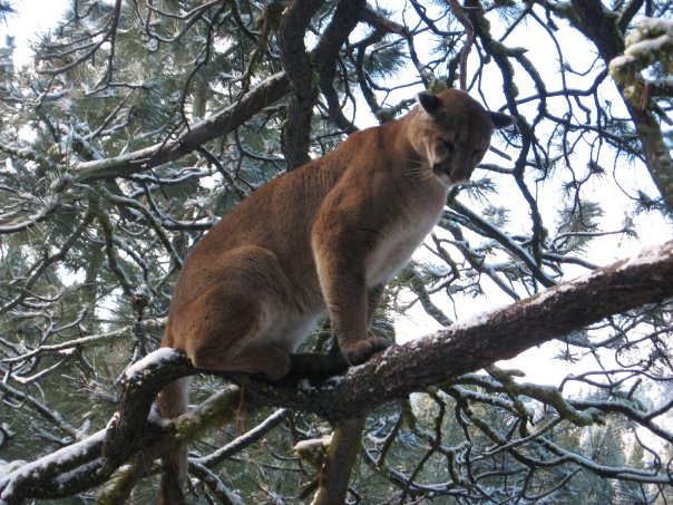 treed mountain lion