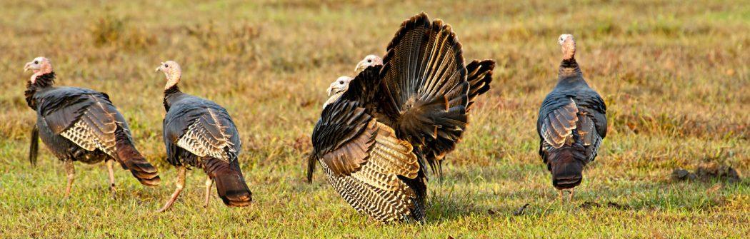 prepare for turkey season