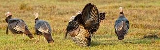 prepare for turkey season