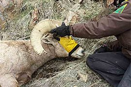 Oregon DFW Steps up Disease Monitoring in California Bighorn Sheep