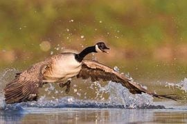 What You Do Today Can Reduce Nuisance Canada Geese Issues This Summer