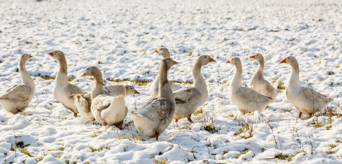 snow geese in the arctic tundra