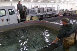 Federally Protected Sockeye Salmon Evacuated Before Flood