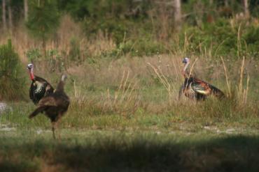 Florida's Spring Turkey Season Provides Special Opportunity