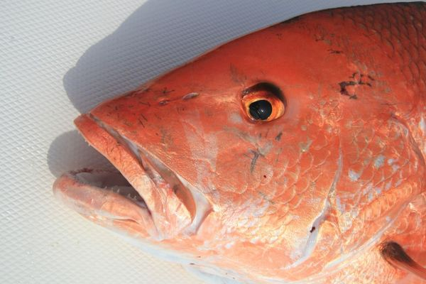 Improving Red Snapper Access in Gulf the Focus of New Grant