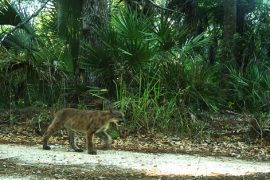 Panther Kittens North of Caloosahatchee River