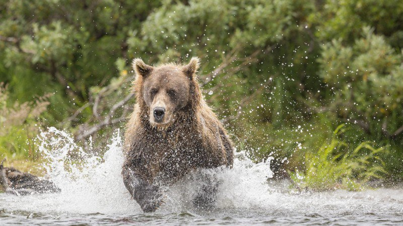 Why Do Mountain Bikers Keep Running into Bears on the Trail?