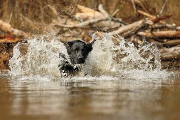 Wounded Waterfowl Demand a Steady Dog