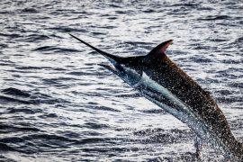 Casa de Campo Marlin Fishing: An Angler's Playbook