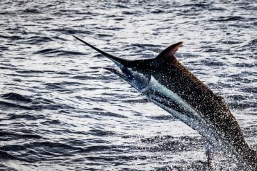 Casa de Campo Marlin Fishing: An Angler's Playbook