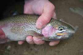 Featured Lure: Leland Lure's Trout Magnet