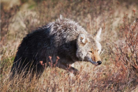 Is Coyote Control the Answer for Better Deer Hunting?