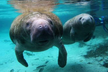 Manatee Reclassified from Endangered to Threatened