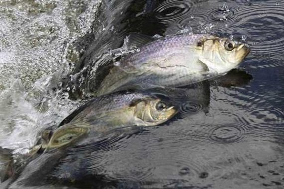 Native Fish in Massachusetts Return After 200 Years