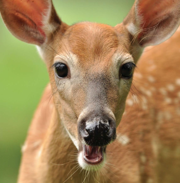 Precocious Fawns: Advanced Fawns Typically Become Superior Adults