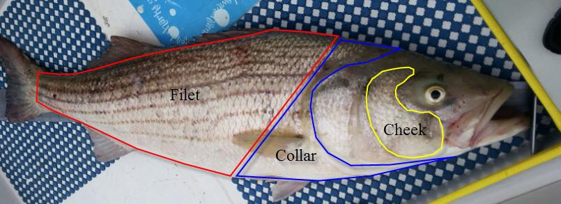 Fish cheek and collar map