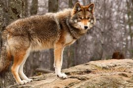 Coyotes Are Becoming Wolves, Deadly On Mature Deer, Even Bucks