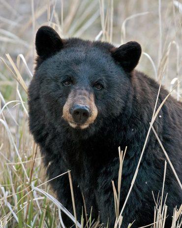 More Bear Hunters Needed In Coastal South Carolina