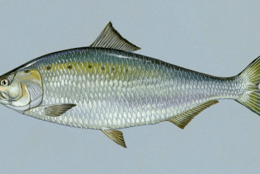 American Shad: A Wild Fish Returns to the Musconetcong River