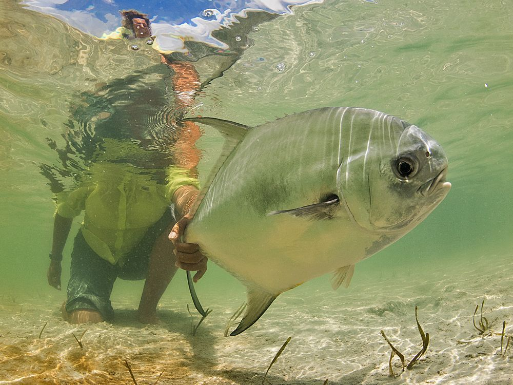Permit on the fly fin and field blog for Permit fly fishing