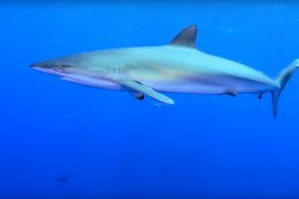 NOAA Releases Important Video and ID Guide for Shark Anglers