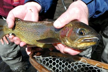 Tailwater Trout
