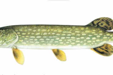 The Cook Who Cried Wolf – Two Top Pike Recipes