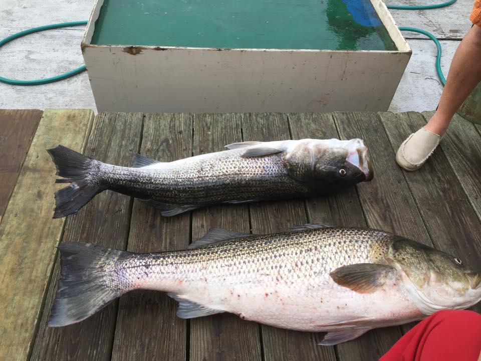 Grand Leader Striped Bass