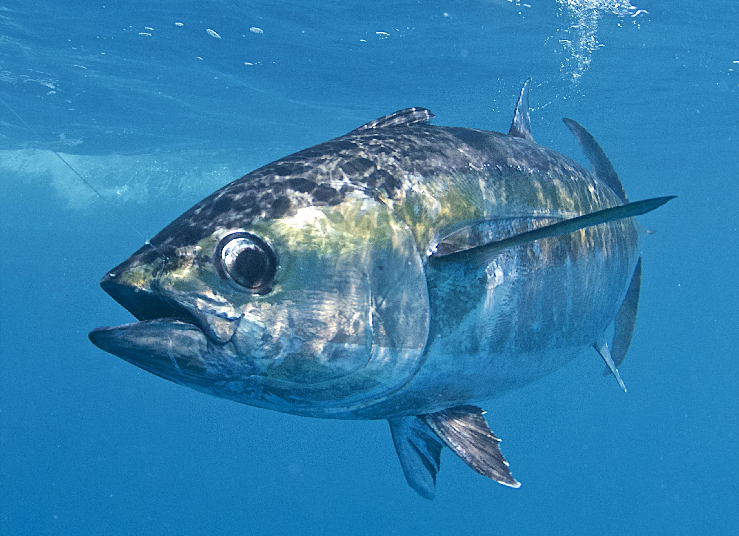 Blackfin Tuna Basics Fin And Field Blog